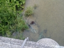 A Beaver on the Isar